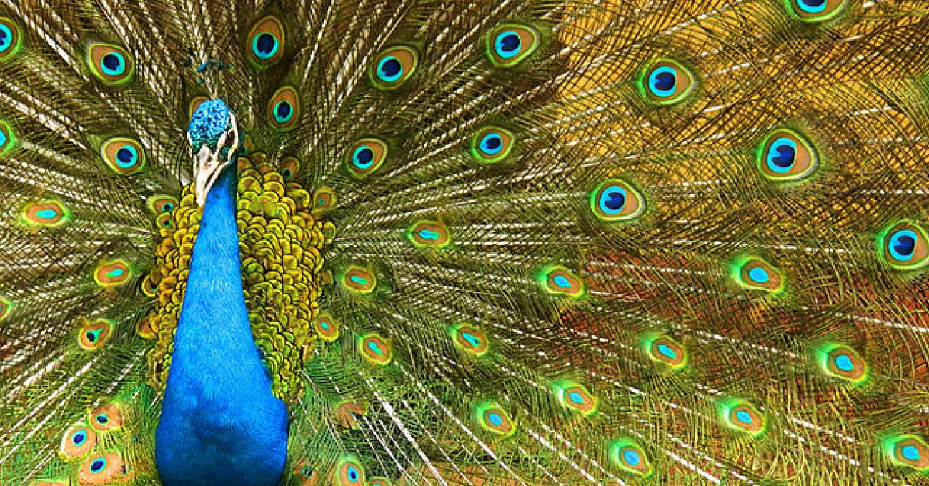 «I pavoni impagliati» di Cosimo Monari
